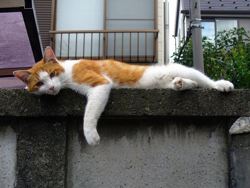 ブロック塀で横になってる茶白猫1