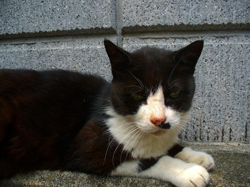 ブロック塀前にいた黒白猫1