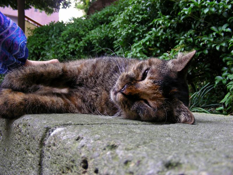 目を開けて横になってるサビ柄猫2
