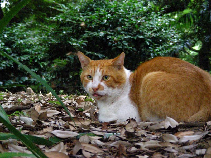 枯れ葉の上の茶白猫2