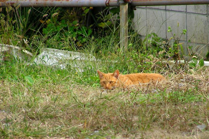 空き地草むらの茶トラ猫2