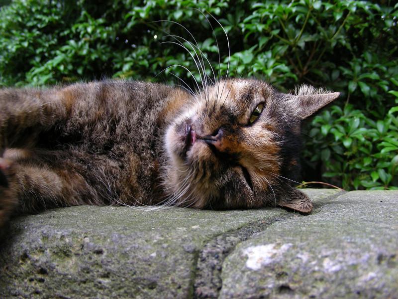 目を開けて横になってるサビ柄猫3