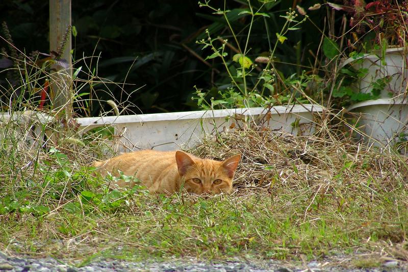 空き地草むらの茶トラ猫3