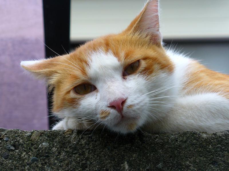 ブロック塀で横になってる茶白猫3