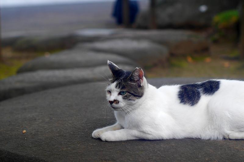 丸石にお腹をつけてる白キジ猫1