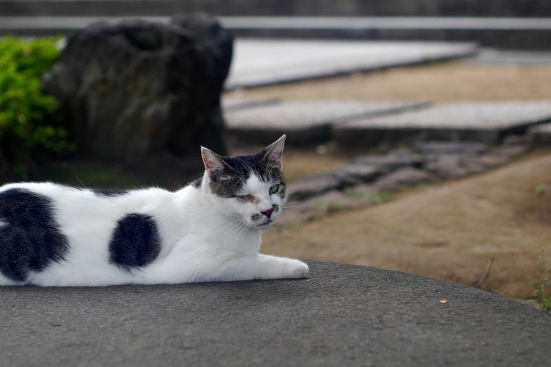 丸石にお腹をつけてる白キジ猫2