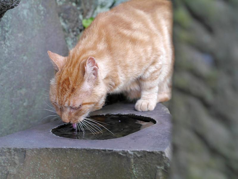 水を飲んでるアメショー風猫3