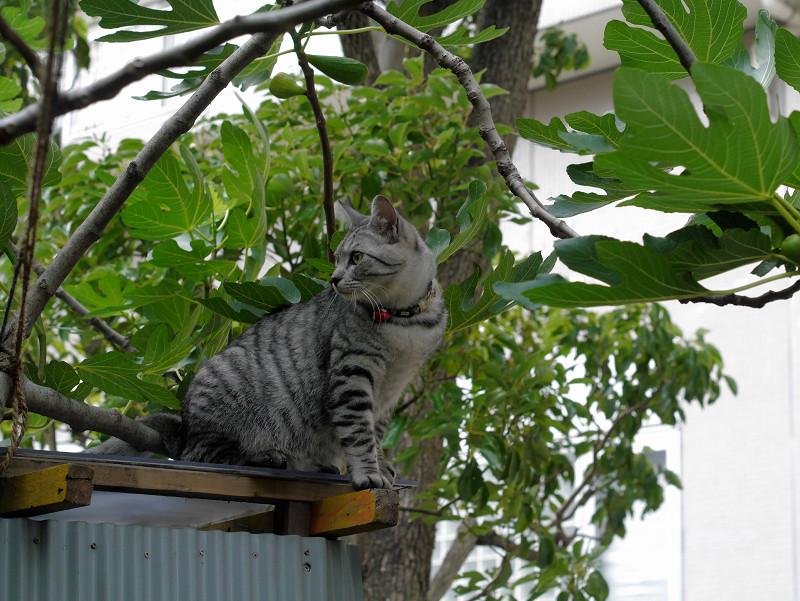 屋根の登ったサバトラ猫1