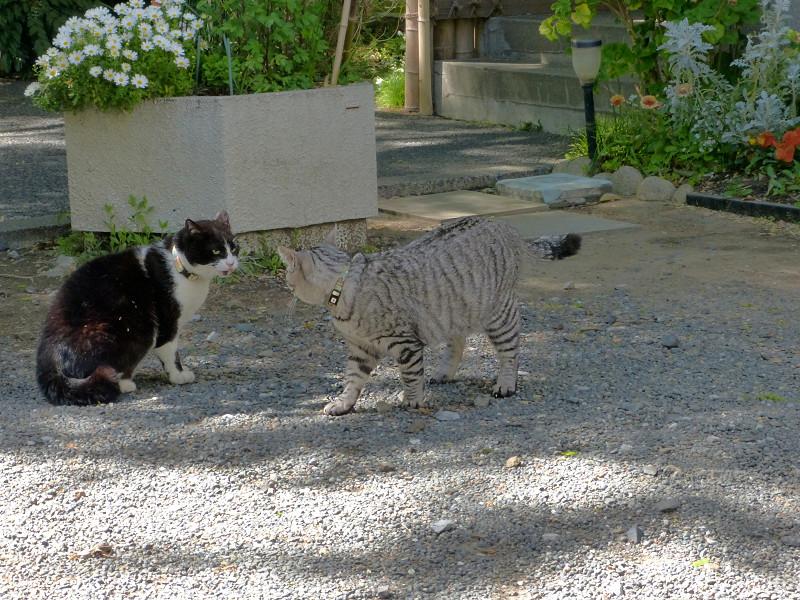 怒る黒白猫1