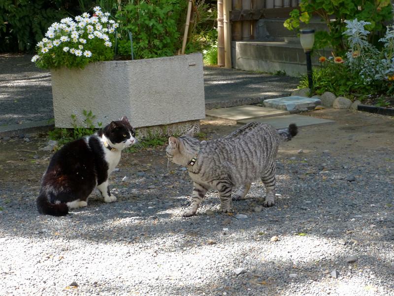 怒る黒白猫2