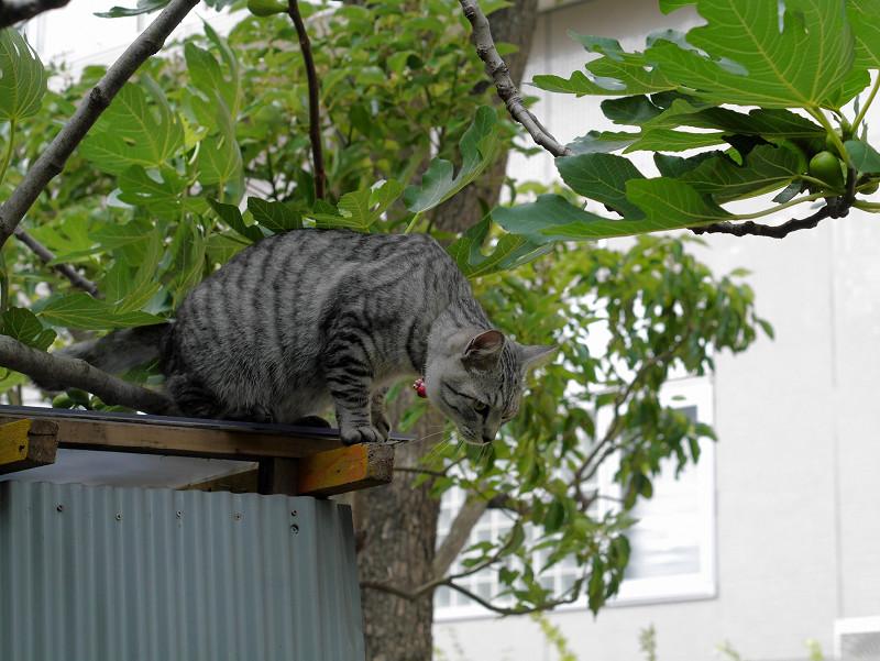 屋根の登ったサバトラ猫3