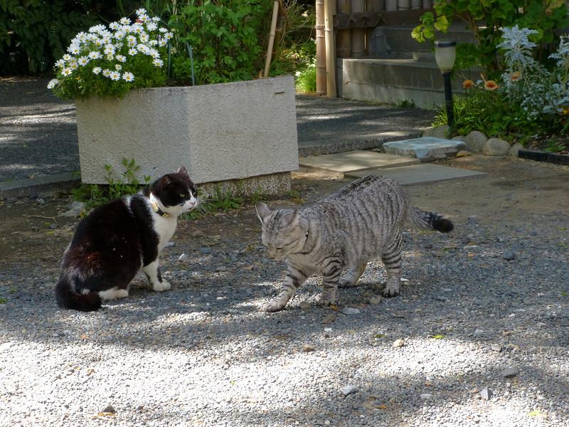 怒る黒白猫3