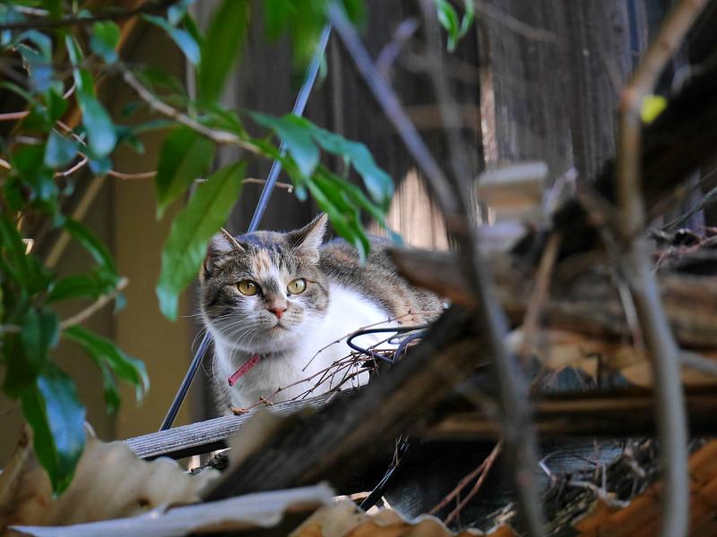 立ち去って行く空き地の茶トラ猫3