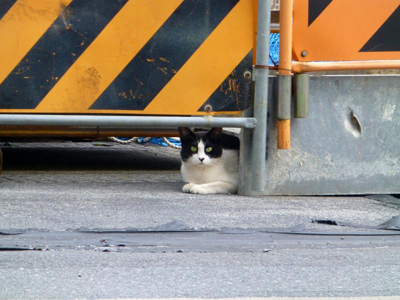 工事現場入り口の黒白猫1