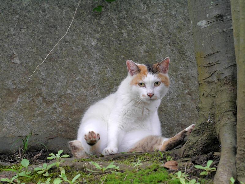 足を広げてる白三毛猫1