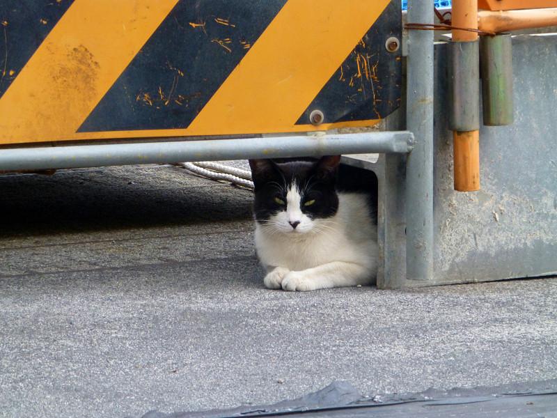 工事現場入り口の黒白猫2