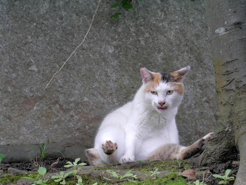 足を広げてる白三毛猫2