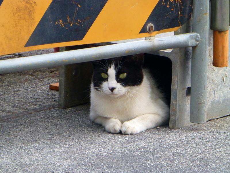 工事現場入り口の黒白猫3