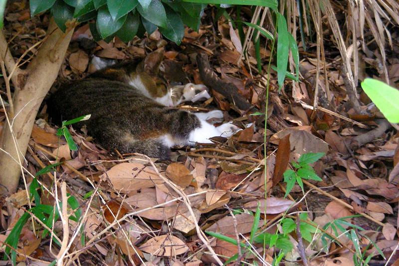 枯れ葉のベッドとキジ白猫1
