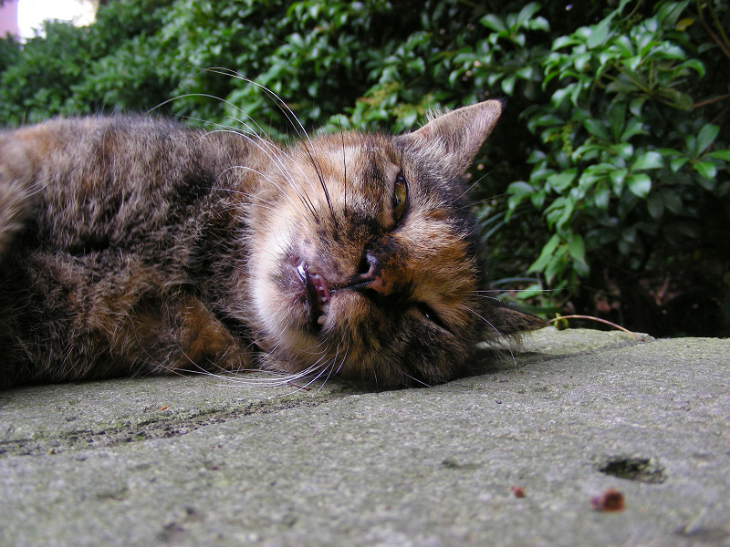 横になって寝るサビ柄猫1