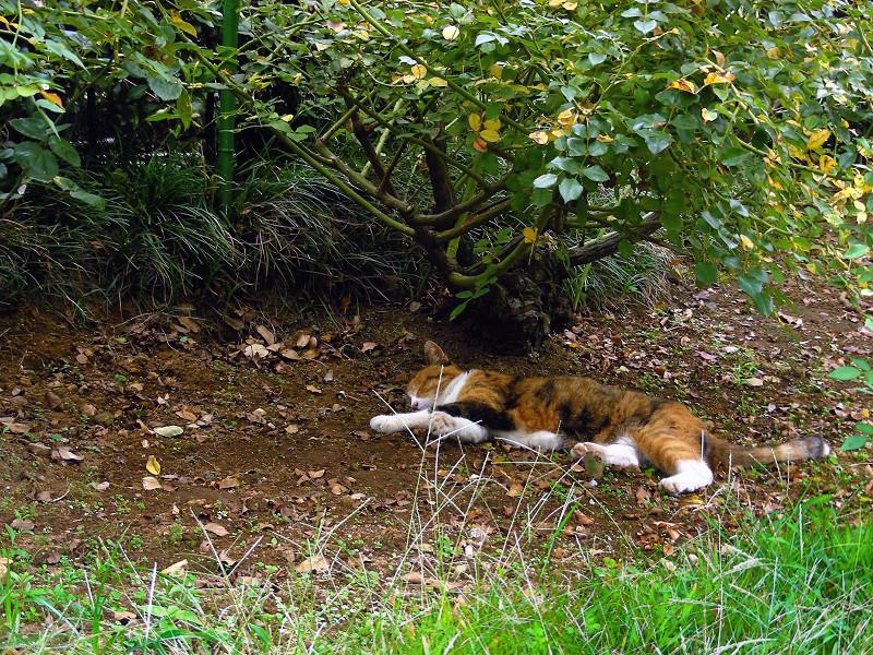 木陰で寝てる三毛猫1