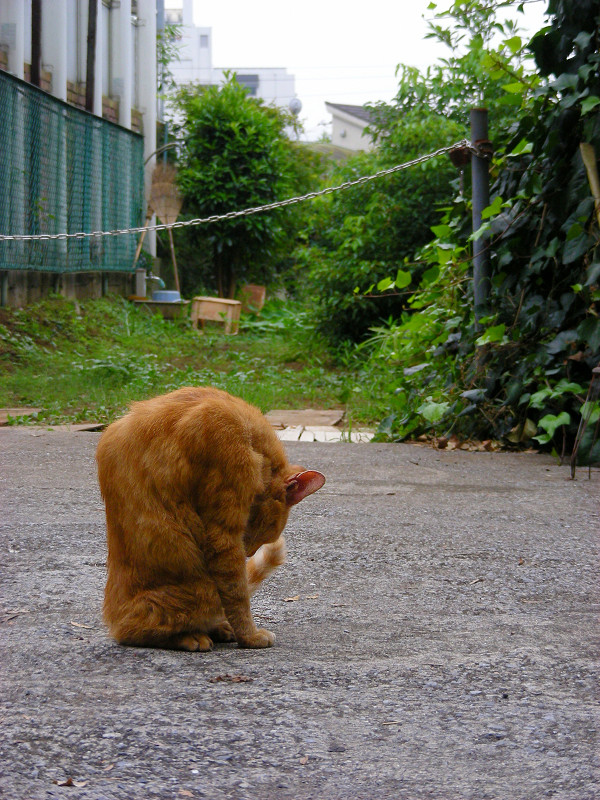 毛繕いしてた茶トラ猫1