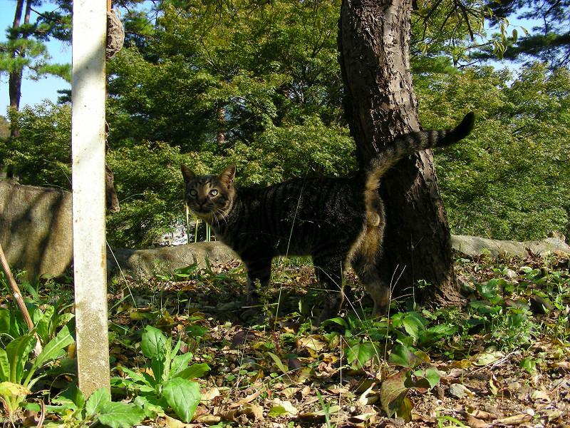 林の中のキジトラ猫1
