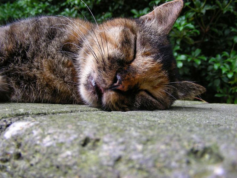 横になって寝るサビ柄猫2