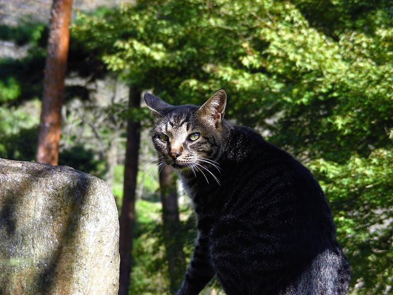 林の中のキジトラ猫2