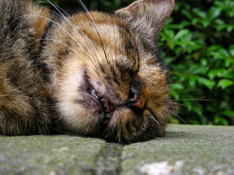 横になって寝るサビ柄猫3