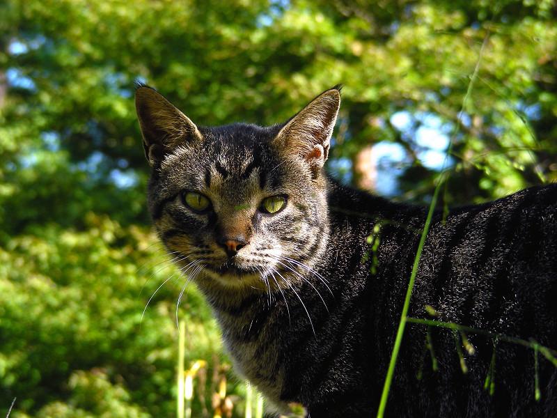林の中のキジトラ猫3