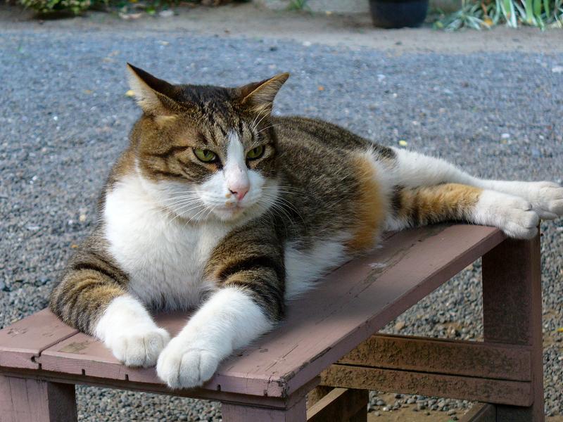 ベンチに乗ってるキジ白猫3