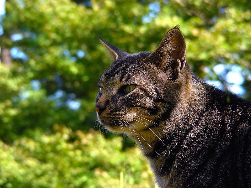 林の中のキジトラ猫4