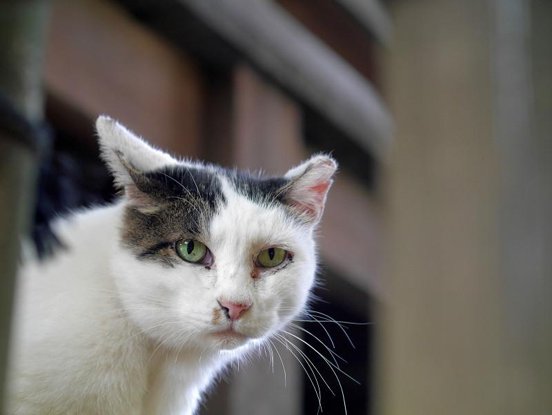 顔を出してる白キジ猫1