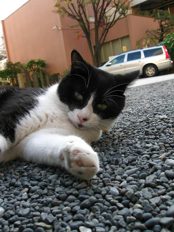 境内で横たわる黒白猫1