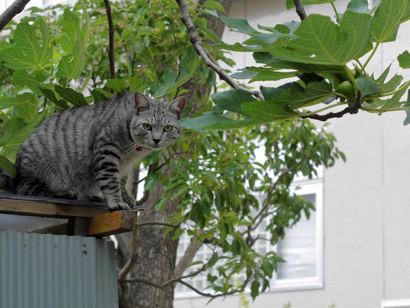 屋根の上で見渡すサバトラ猫1