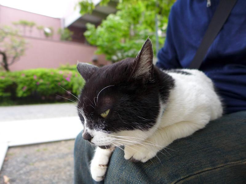 膝に乗って睨んでる白黒猫1