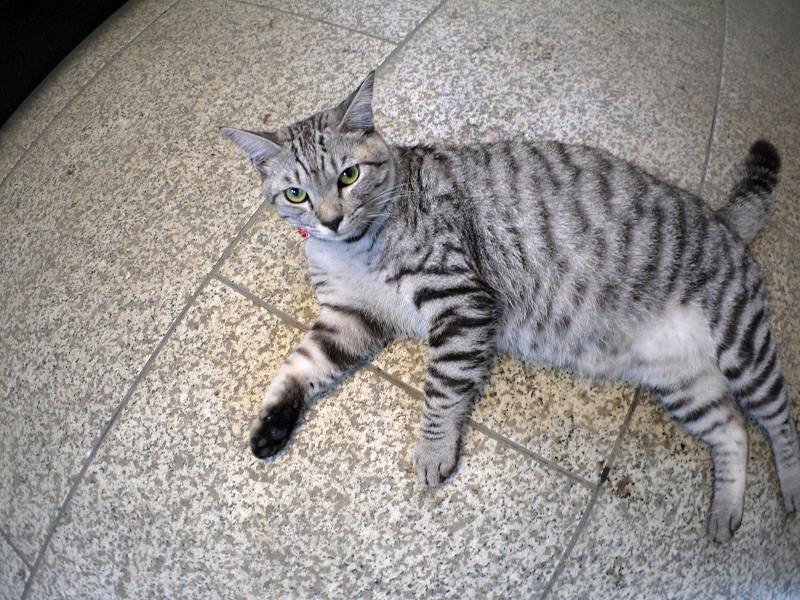 お堂で横になってるサバトラ猫1