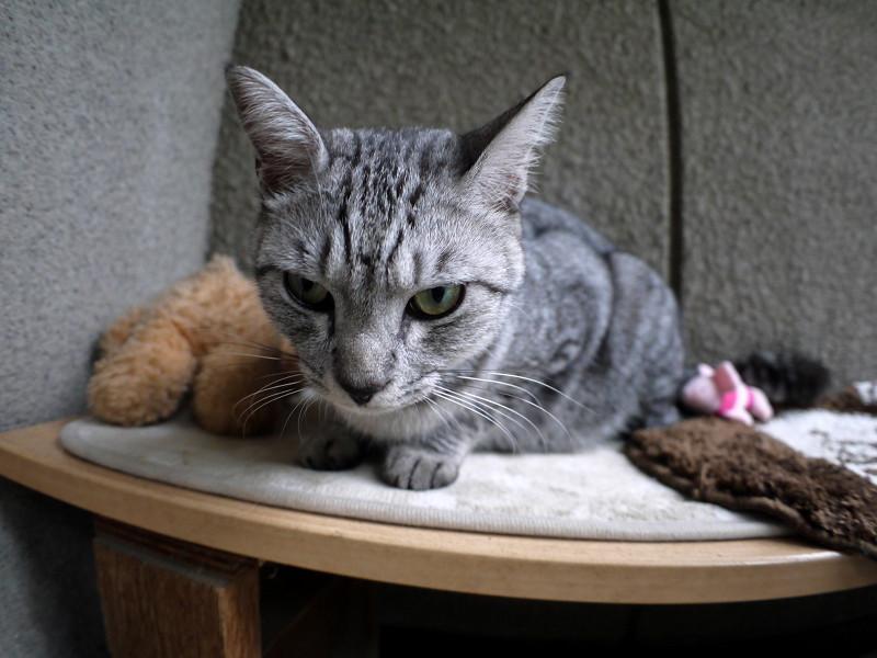 必死で目覚めたサバトラ猫1