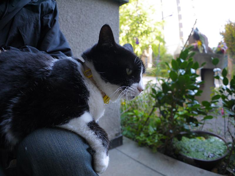 膝の上の黒白猫1