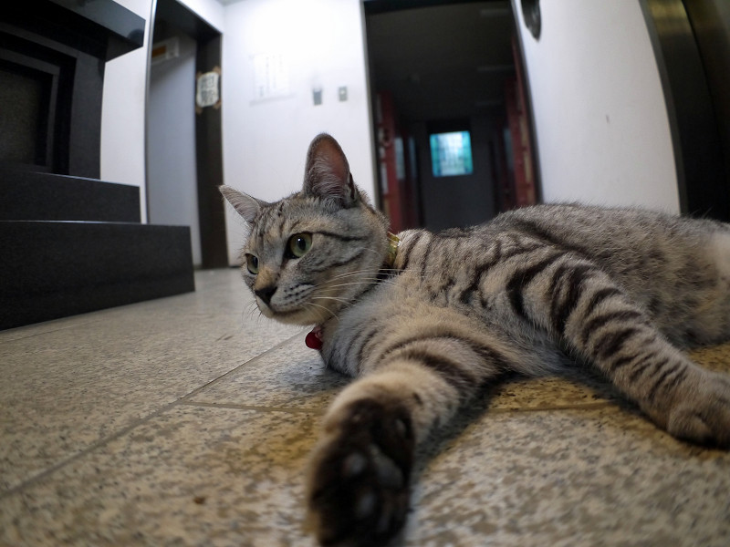 お堂で横になってるサバトラ猫2