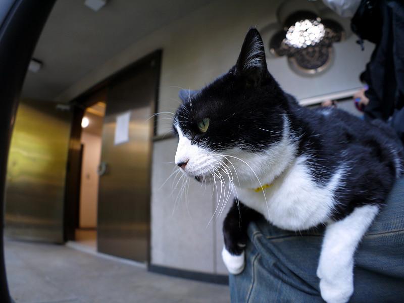 膝の上の黒白猫2