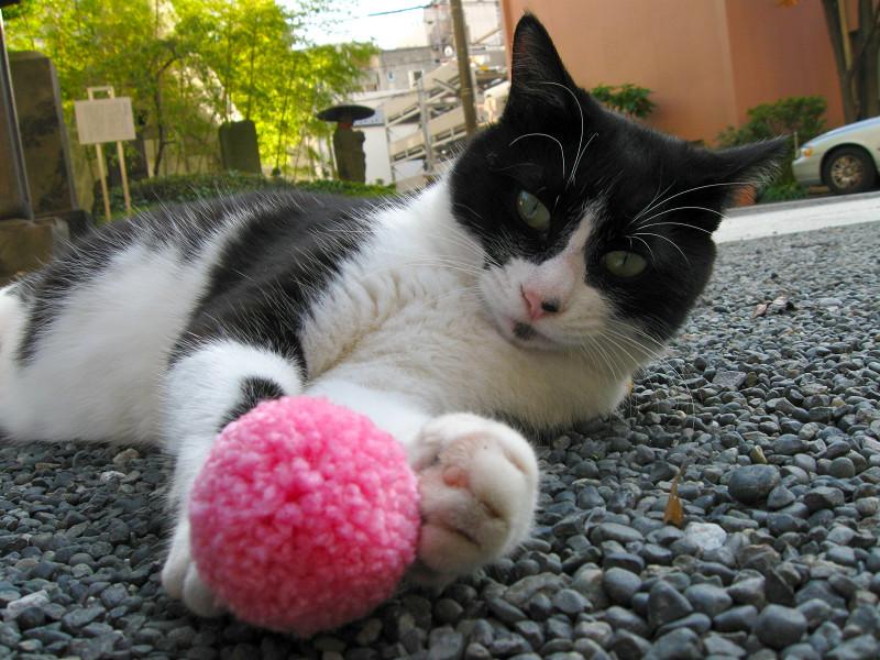 境内で横たわる黒白猫3