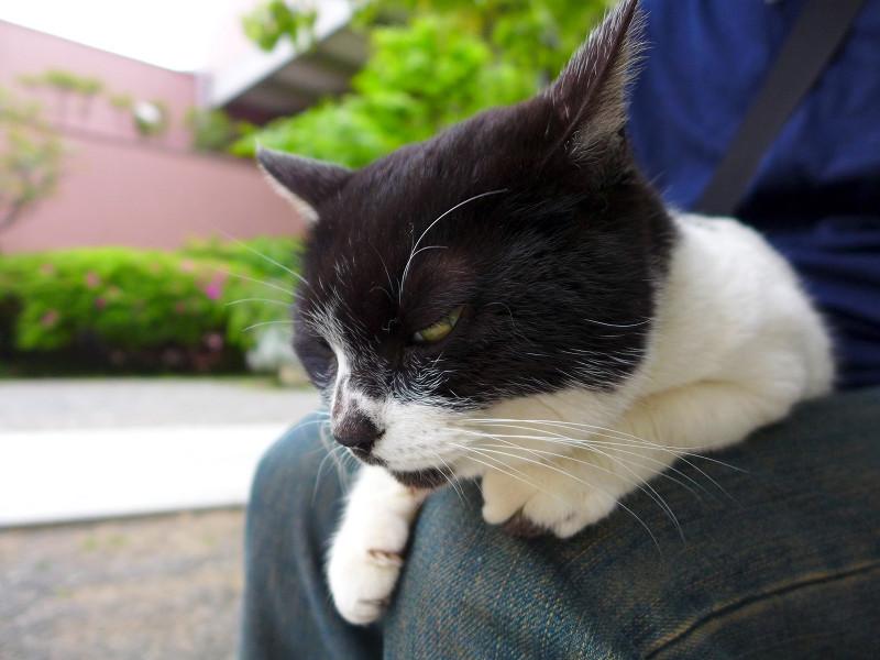 膝に乗って睨んでる白黒猫2