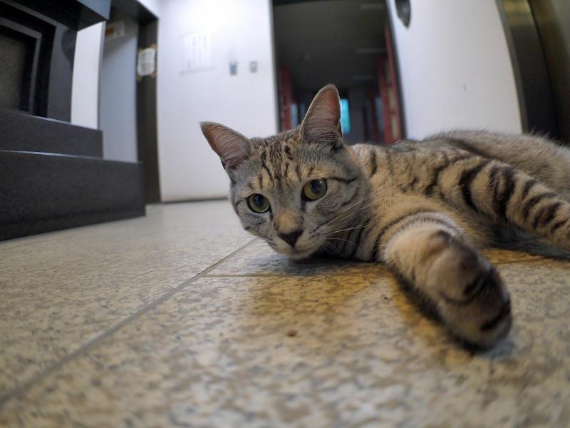 お堂で横になってるサバトラ猫3