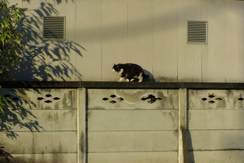 ブロック塀と夕陽と黒白猫1