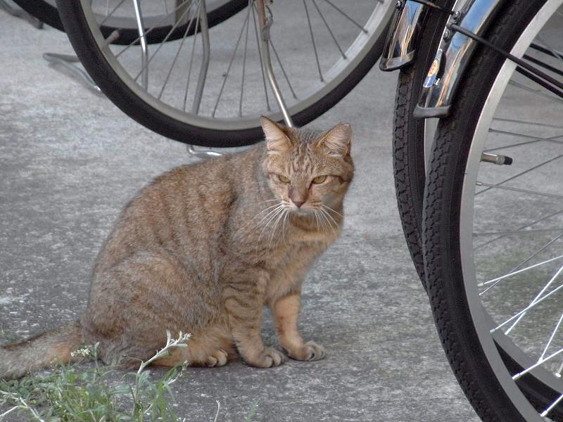 駐輪場の猫1