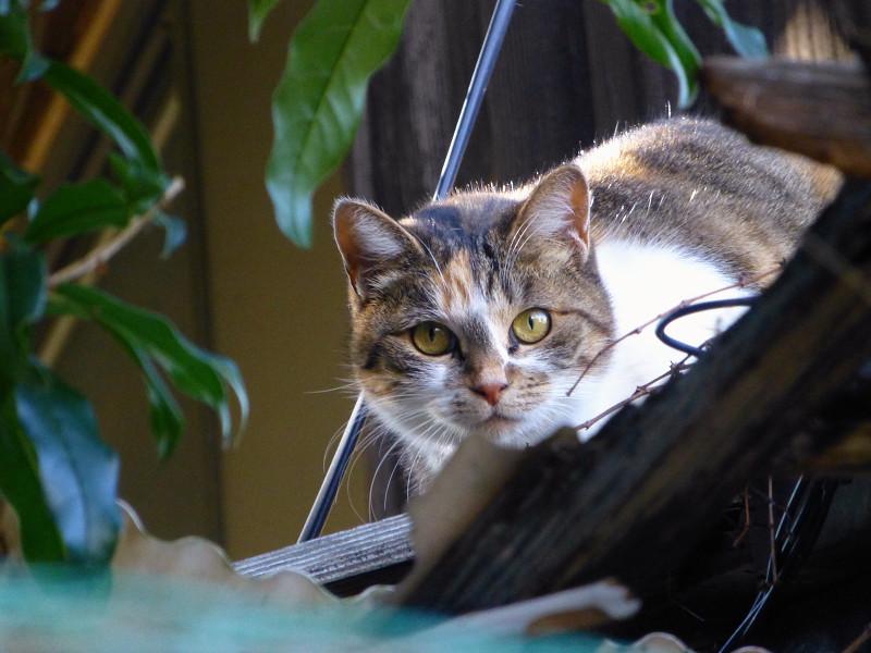 廃屋から見ている三毛猫2