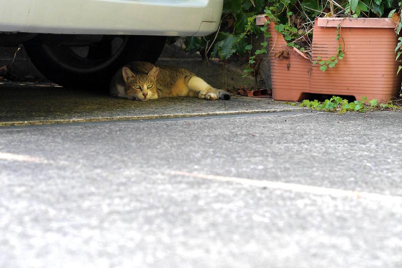 車の下のキジ白猫2