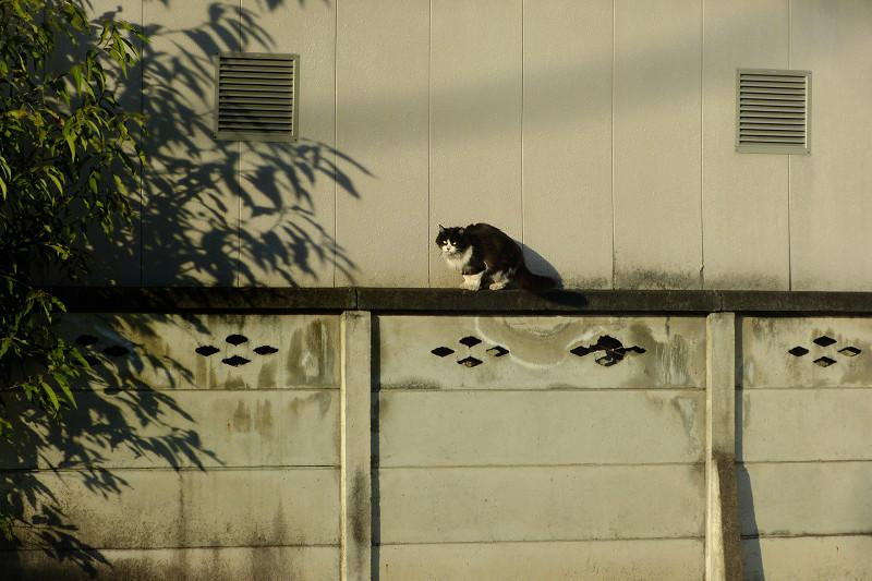 ブロック塀と夕陽と黒白猫2